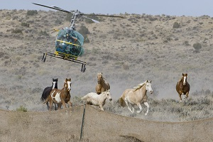 Wild Horses in Sand Wash Herd Area near Maybell, CO, helicopter chasing mares, foal and stallions