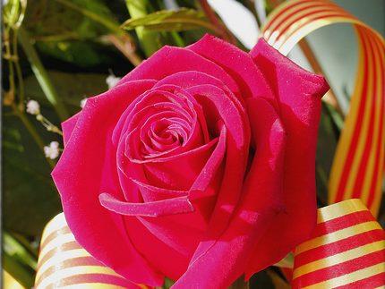 rose img