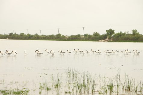 Birds on Crooked Tree Lagoon
