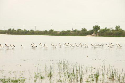 Birds on Crooked Tree Lagoon